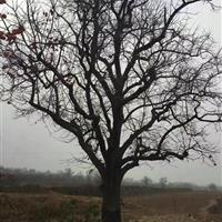 柿树图片·柿树产地·柿树产地信息·柿子树种植基地详情