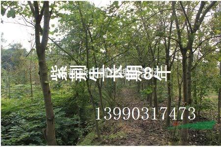四川紫荆10-16公分,1.5米以上开丫,冠幅2米以上