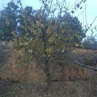 山西山杏图片·山西山杏报价·山杏特征用途·山西供应山杏树