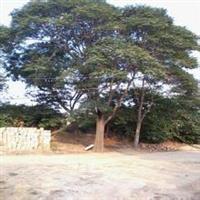 供应臭椿树产地