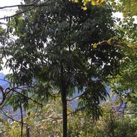 花榈木出售