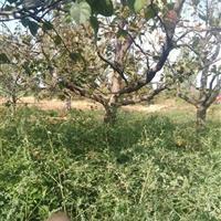 占地梨树·5公分梨树8公分梨树10公分梨树·供应山西梨树