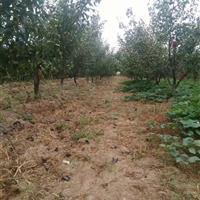 地径10公分=米径8公分梨树··12公分梨树价格图片产地详情