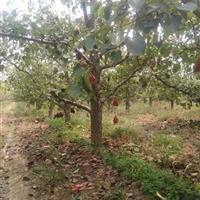 山西8公分梨树价格产地·山西10公分梨树图片报价·供应梨树