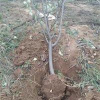 8公分梨树产地10公分梨树图片10公分梨树价格详情供应