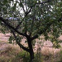 哪里有山杏树?山西哪里有山杏树卖?山杏树基地在哪?