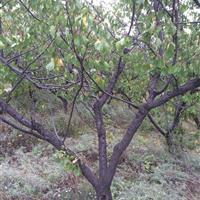 10公分山杏10公分山杏树图片·10公分山杏树价格详情供应