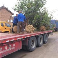 地径8公分=米径8公分山杏树·双8公分山杏树图片产地价格详情