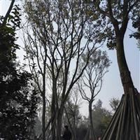 朴树,丛生朴树,四川地区供应朴树