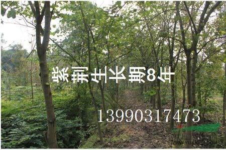 成都紫荆4-16公分,1.5米以上开丫,冠幅2米