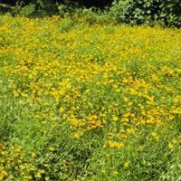 大花金鸡菊,金鸡菊价格,金鸡菊批发,金鸡菊种植地