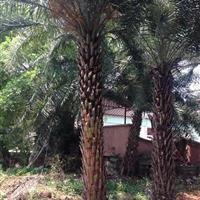 中东海枣专业种植户 中东海枣专业研究基地
