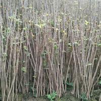 1年香椿苗 60-100厘米 1年香椿苗价格  0.6元