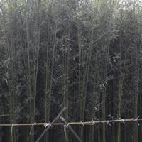 刚竹,斑竹,琴丝竹,凤尾竹,竹子,竹类