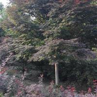 红枫,日本红枫,中国红枫