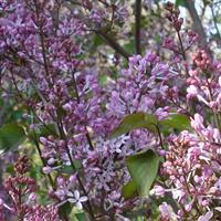 紫丁香 连翘 天目琼花 珍珠梅 金叶接骨木 贴梗海棠 棣棠
