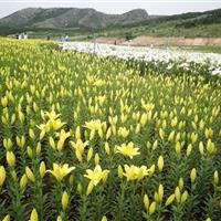 亚洲百合凌源鲜花种球