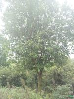 江西香泡树