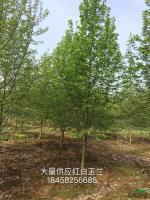 浙江红白玉兰*新报价/红白玉兰图片