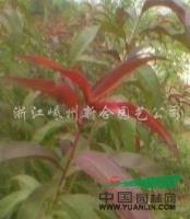 浙江垂枝海棠小苗4最新报价/垂枝海棠小苗4图片