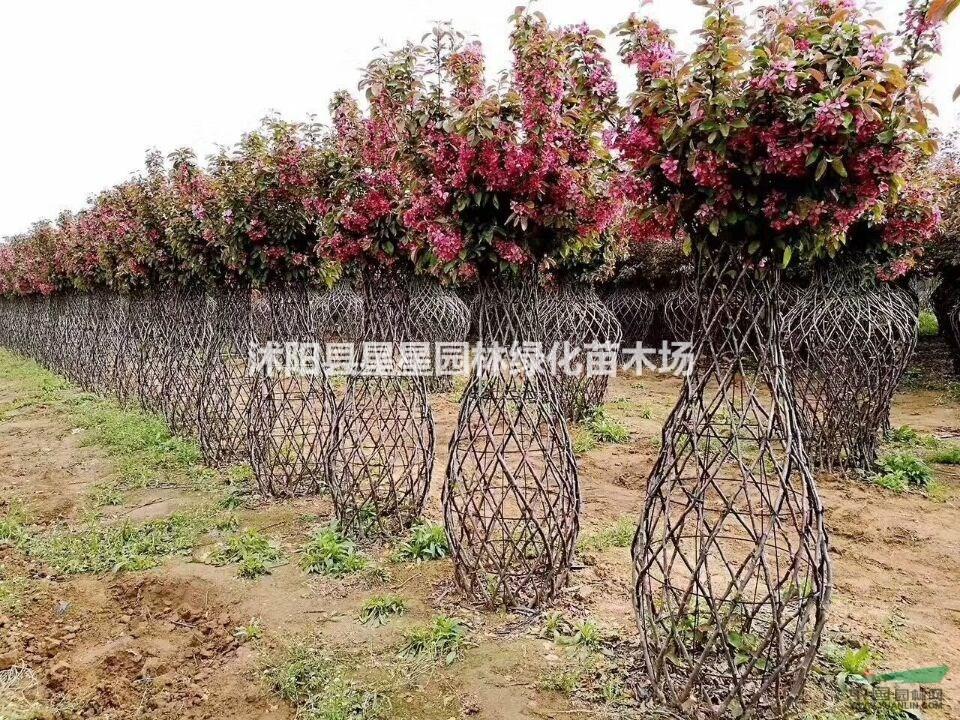 江苏星星园林精品桂花,紫薇花瓶供应