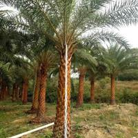 中东海枣(米径30高度2米5冠幅4米地径40,价格400)