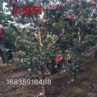 山楂树的品种及特征·山楂树的习性及用途·山楂树适应种植地区