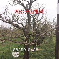 出售别墅庭院山楂树·造型柿子树·景区山楂树·寺庙山楂树