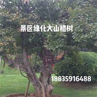 皇城相府景区里面的山楂树在哪里买的?哪里出售景区山楂树?