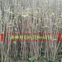 山西香椿苗种植专业合作社 山西红油香椿苗产地
