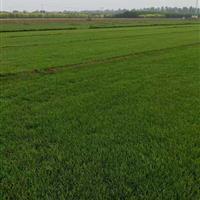 北方草皮冷季型混播草皮高羊茅早熟禾混播草坪