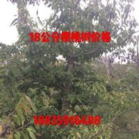 樱桃树产地价格·10公分樱桃树15公分樱桃树20公分樱桃树