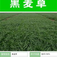 常年批发进口草坪种子 牧草种子 一年生黑麦草种子