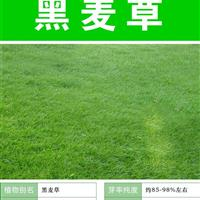 专业销售优质牧草种子 批发进口多年生黑麦草草种 包发芽牧草种