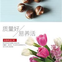 基地直销球根花卉 郁金香室内盆栽花卉 郁金香种球 量大优惠