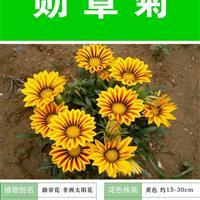 打造花海 农家乐 旅游观光 四季花海必备精品勋章菊