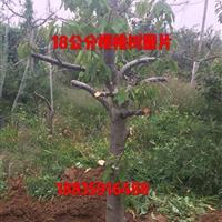 樱桃树量大·山西14-16公分樱桃树量大·出售山西运城樱桃树