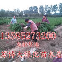 小龙柏绿篱苗价格H30-40-50公分小龙柏球江苏龙柏苗产地