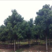 江苏星星园林特价供应优质重阳木行道树