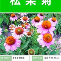 打造花海 農家樂 旅游觀光 四季花海必備精品 松果菊