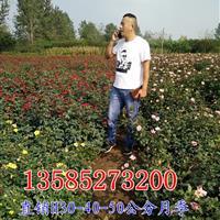 月季花價格H40-50-60公分月季工程苗價格優惠,紅帽月季
