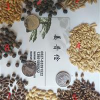 哪里有进口交播型黑麦草种子护坡型高羊茅早熟禾种子价格