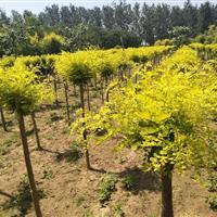 山东彩色苗木出售金叶榆、金叶槐、金枝槐、红叶椿、金叶白蜡