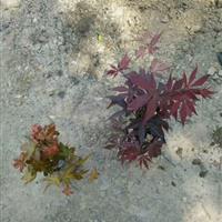 1公分到1.5公分小紅楓用作景觀盆景用苗