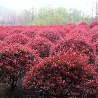 安徽合肥红叶石楠球*新价格图片,肥西红叶石楠小苗种植基地