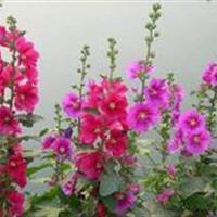 蜀葵别称一丈红、大蜀季、戎葵、吴葵    蜀葵种子价格