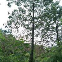 福建漳州12-30美人树