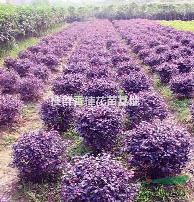 万桂供应咸宁优质香樟树,丛生朴树,红继木球,茶花球