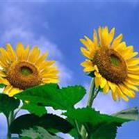 向日葵别称朝阳花、转日莲、向阳花、望日莲 向日葵种子价格