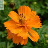 硫华菊别称黄秋英,黄花波斯菊,硫黄菊   硫华菊种子价格